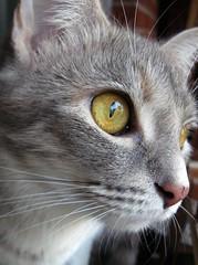 Viva (elycefeliz) Tags: cats kittens gatos viva katzen