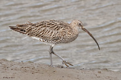 Curlew close-up (roychurchill (local patch birder)) Tags: bird birds devon barnstaple curlew