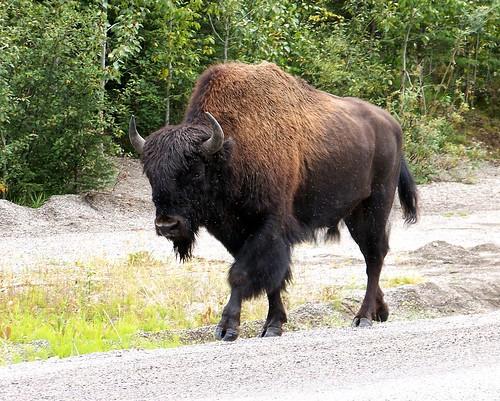 100_0190-Bison