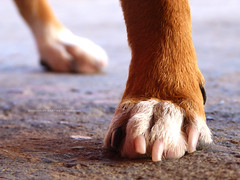 Patinhas com unhas gastas (Giancarlos F. Martins) Tags: dog animal st se si sl perro cachorro patas sa sy so frenteafrente patadecachorro lumixfz40 nanaturezainnature giancarlosferreira