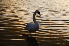 IMG_6038 (christophemurphy) Tags: sunset lake swan boating rickmansworth aquadrome