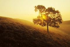 Scotch mist (Stuart Stevenson) Tags: trees light fog sunrise landscape photography golden scotland heather scottish hills sunburst bog heathland sunflare hss orangeglow mistymorning clydevalley earlyautumn scotchmist canon5dmkii stuartstevenson stuartstevenson ecoss sunrisethroughmist