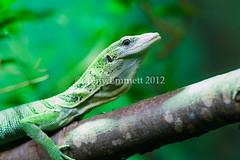 Lizard on a branch (Tony Emmett) Tags: macro nature closeup wildlife sony sigma lizard getty alpha gettyimages sigma105mmf28macro a700 sigma105mm sigma105mmf28exdgmacro sonyalpha donotusewithoutpermission sonyalpha700 minoltaamount