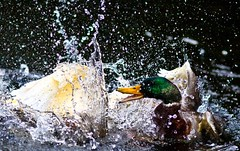 Boys will be boys (Steve-h) Tags: park blue ireland dublin orange woman white black green nature water girl tongue sex lady drops fight pond beige europa europe eu battle biting violence mallard waterdrops drakes duckpond swearing splashing beaks pekin cussing badlanguage steveh canonef300mmf4lisusm canoneos5dmk2 doublyniceshot doubleniceshot tripleniceshot mygearandme mygearandmepremium mygearandmebronze mygearandmesilver mygearandmegold mygearandmeplatinum mygearandmediamond artistoftheyearlevel3 artistoftheyearlevel4 artistoftheyearlevel5 4timesasnice 5timesasnice fightingoveragirl