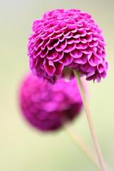 Pink Bonbons (on Explore) (ho.ge) Tags: pink explore bonbons dahlien natureselegantshots