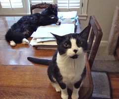 when tina wants something she is relentless (rootcrop54) Tags: cats cat chat tuxedo gato batman tina  macska gatto kot koka kedi chatte katt kissa kttur maka kucing cowcat   kat  maek kais cc100 gorbe kissablekat bestofcats kittyschoice catmoments pisic