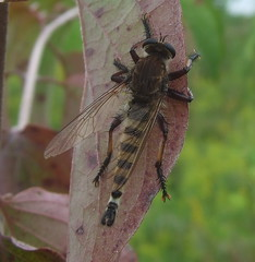 large, male robberfly (Stylurus) Tags: park county west male giant fly dundee michigan monroe robberfly robber promachus hinei