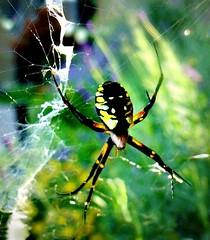 Corn Spider (scilit) Tags: macro nature animal bug insect spider spiderweb spidersilk writingspider blackandyellowgardenspider cornspider