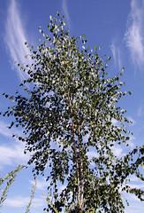 Birke (drloewe) Tags: summer tree green leaves garden arbol sommer herbst natur pflanzen september blätter bäume garten canoneos50d