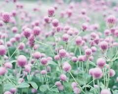 *flower (fangchun15) Tags: flower 120 film nature japan tokyo kodak explore 6x7 portra400 pentax67