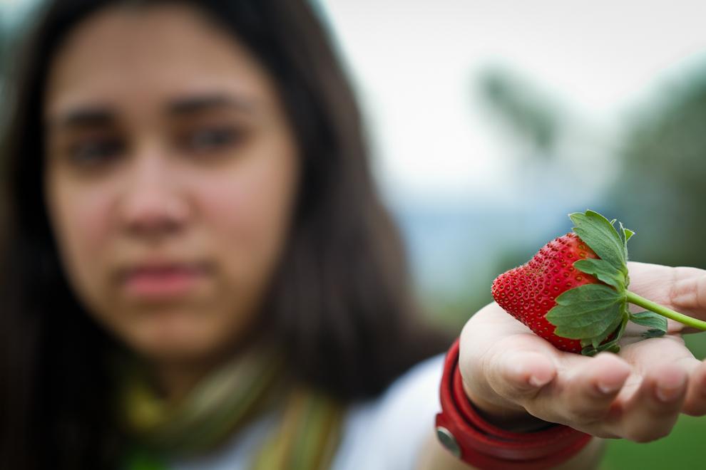 La planta Fragaria, llamada comúnmente freseras, es un género con varias especies de plantas rastreras. Su nombre deriva de la fragancia que posee (fraga, en latín). Son cultivadas por su fruto comestible llamado fresa o frutilla, como ésta de gran tamaño, cultivada en la huerta de Don Carlos, en Estanzuela. (Tetsu Espósito)