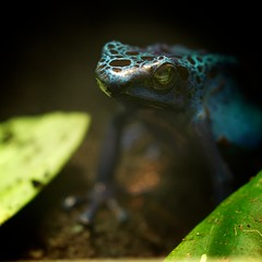 """It's not easy being blue (when you are 1/2"""" tall) (pablo.raw) Tags: blue macro zoo dc washington pentax frog national 100 mm poison dart k5 amazonia"""