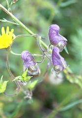 Aconitum macrorhynchum (Ranunculaceae)