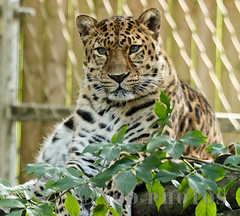 Leopard (Nigel Dell) Tags: ngdphotos