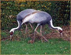 White Naped Cranes (Janna...) Tags: nature wildlife norfolk fakenham pensthorpe 100commentgroup