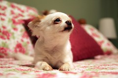 my girl (jen ) Tags: dog chihuahua cute bed longhair sweetie elitechihuahuas