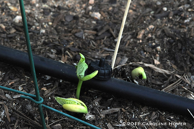 Tiger's Eye bean seedlings