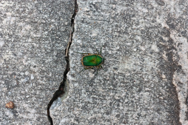 Emerald Green Beetle
