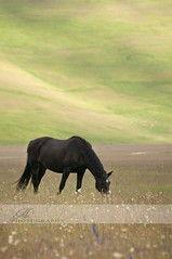 Castelluccio2010/the black horse (*Marta) Tags: flowers wild italy horse flower macro primavera nature animal freedom bokeh free springtime castelluccio sibillini fioritura gettyvacation2010 gettyimagesitalyq1 gettyimagesgreece1 gettygreecefamily gettyimagesitalyq2