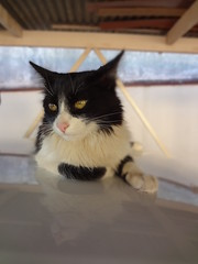 Tido - Carro (Alice Thomaz) Tags: animal branco cat kitty preto gato carro tido bichano
