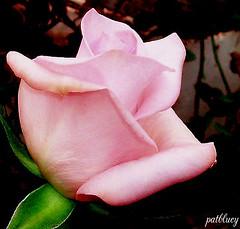 Roses (pat.bluey) Tags: pink australia newsouthwales 1001nights magiccity coth fantasticnature warnervale myfuji flickraward rosefarm alittlebeauty 攝影發燒友 coth5 thelargestgroupintheworld natureskingdom hennysgardens hydroponicroses roses2go