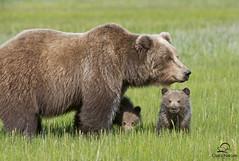 Brown Bear Mother and Cubs (Glatz Nature Photography) Tags: alaska grizzly brownbear supershot lakeclarknationalpark supershots alaska2010 photocontesttnc11 animalmothersandbabies