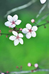 Unfold () Tags: pink flowers white green cherry spring blossom petal sakura