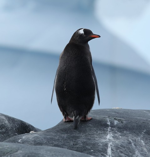 Gentoo Penguin in Pléneau Bay, Antarctica by Liam Q