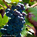 Vendemmia 2011 on macro