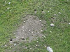 Murmeltierkolonie - Juli 11, NGID921419711 (naturgucker.de) Tags: tirol marmotamarmota sterreich alpenmurmeltier naturguckerde cjrgchmill hohemutmitangrenzendentlernugletschern ngid921419711