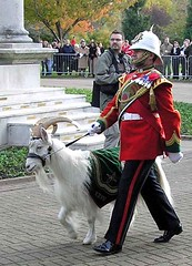 "Regimental mascot- Taffy The Goat • <a style=""font-size:0.8em;"" href=""http://www.flickr.com/photos/36398778@N08/6069390130/"" target=""_blank"">View on Flickr</a>"