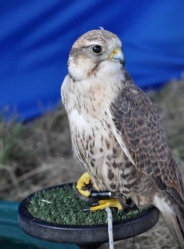 Saker Falcon Posing
