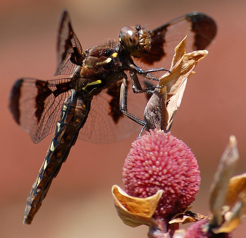 Female Common Whitetail Dragonfly (32)