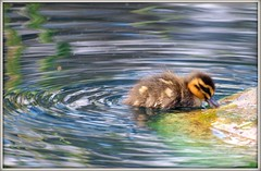 I'm the brave one! (di off the wallaby.) Tags: baby duck duckling australia perth kingspark westernaustralia pacificblackduck anassuperciliosa blinkagain bestofblinkwinners