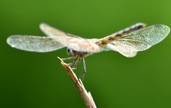 Standing in style:-) (Amima Sayeed) Tags: green nature stand dragonfly insects glasswings odc2 nikond7000