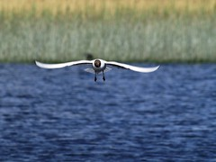 Brown headed gull (Jonny_Kerr.) Tags: ireland brown white lake bird nature water reeds lough head gull flight wing olympus shore northernireland fermanagh olympuse brownheadedgull