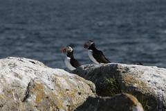 Papageientaucher (luckyocki) Tags: island puffin lundi papageientaucher vigur