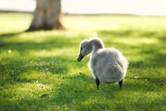 who put that there then?....... (~ geisha ~) Tags: fuzzy cygnet p babyswan withafternoonlight andabeakfullofgrass nofurkehthough