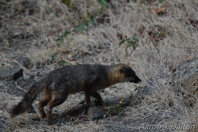 Slinking Fox