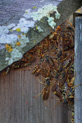 Wasp Family DSC_9076