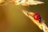 (Red 'N Spots) Tags: red blur macro nature grass bug insect nikon dof bokeh beetle spots ladybird ladybug tamron mygearandmegold mygearandmeplatinum mygearandmediamond artistoftheyearlevel3 artistoftheyearlevel4 artistoftheyearlevel5 artistoftheyearlevel6