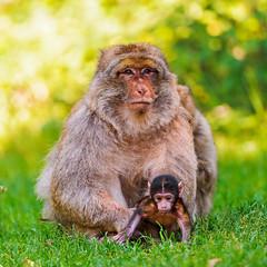 [フリー画像] 動物, 哺乳類, 猿・サル, 家族・親子(動物), 201109031100