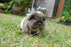 Chutney the Guinea Pig (Sharpie314) Tags: pet brown cute grass garden fur guinea pig cavy fluffy chutney