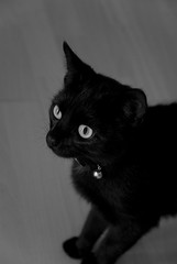 Transfixed (Sean Rogers1) Tags: pet pets white black look field cat out 50mm eyes nikon focus feline dof looking little bell pussy stare mm d200 collar 18 50 puss depth mil fifty domesticated oof transfixed bestofcats
