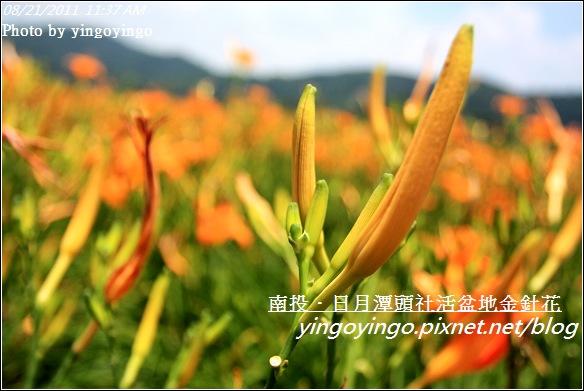 南投魚池_頭社活盆地金針花20110821_I1318