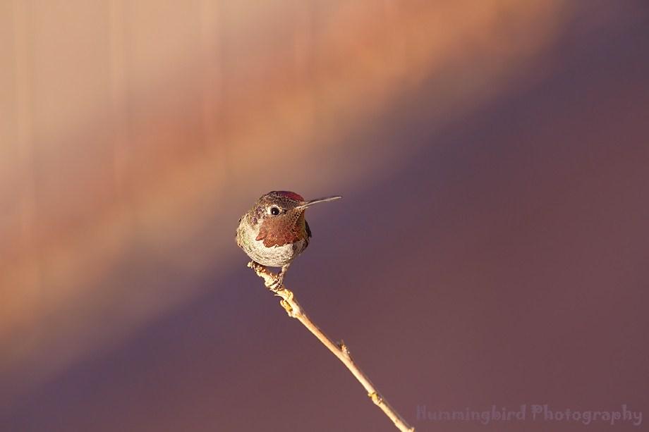 Anna's Hummingbird 090111-2