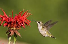 Bee Balm Hummer (snooker2009) Tags: bird nature birds hummingbird wildlife hummer photocontesttnc11
