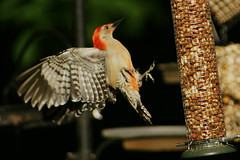 DSC06193 (dmarie13) Tags: haven birds backyard minolta sony north july ct teleconverter 2011 14x 600mm a900