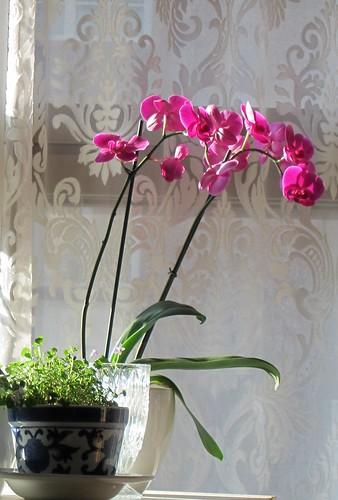 Orkidea ilta-auringon valossa by Anna Amnell