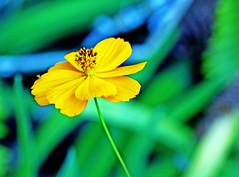 Return to innocence (xeno(x)) Tags: flower macro green nature yellow canon garden asia 2010 xeno 5d2